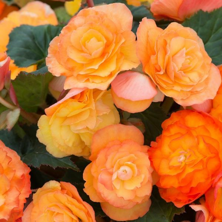 Begonia Fortune Apricot Shades